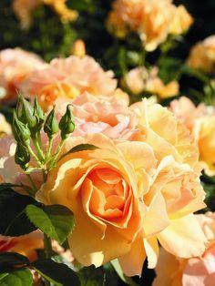 Rosa Floribunda 'Hansestadt Rostock' | Tysk rabattros, floribundaros, med upprätt, tätt förgrenat, kompakt utseende. Klaseblommande. Blommar rikligt från juni till oktober med mellanstora, fyllda blommor i bärnstensgult till aprikos med en djupt aprikosfärgad mitt. Bra motståndskraft mot svampangrepp. Zon 1-4.