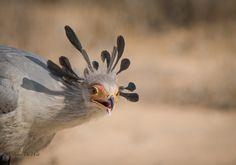 Secritary Bird by Jacobus De Wet on 500px