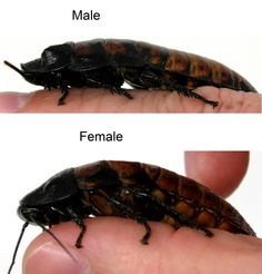 Madagascar hissing cockroach sex