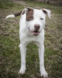 Pretty Boy Pit Bull Terrier • Adult • Male • Medium Humane Educational Society of Chattanooga, TN Chattanooga, TN