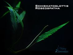 It isn& a Bucephalandra species, but it also belongs to the Araceae family. It also has shining dots and able to attach to the rocks. Planted Aquarium, Freshwater Aquarium Plants, Aquascaping Plants, Aquatic Plants, Water Plants, Betta, The Rock, Fresh Water, Plant Leaves