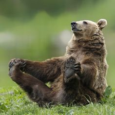 Bear Watching Romania, near Brasov-Funny brown bear holding its feet