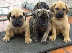 Presa Canario puppies. Adorable!!