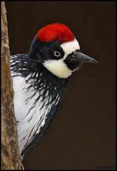 Acorn Woodpecker, Madera Canyon, Arizona by EJPhoto