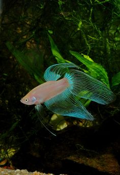 Cellophane veiltail betta fish