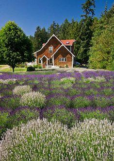 Purple Haze Lavender Farm in Sequim, Washington Loved my visit here. Lavender Cottage, Lavender Garden, Lavender Fields, Lavander, Sequim Washington, Washington State, Provence, Evergreen State, Perfect World
