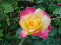 rosa Pullman Orient Express di Meilland