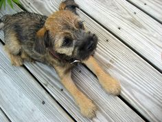 Border Joy - For Border Terriers & Their People  .... So adorable, thinking about having another Border added to our family!