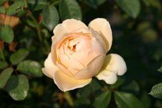 Mit ihren wunderschönen apricot- bis cremefarbigen Blüten erinnert die Englische Rose Jude the Obscure an die zarten Farbtöne der Teerosen a...