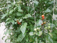 07.08.2013, endlich auch Tomaten