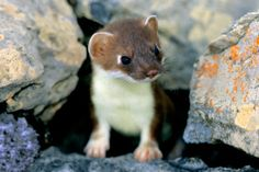 young short tailed weasel