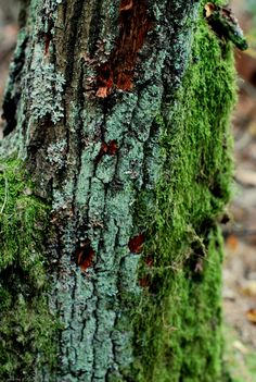 Moss and Lichens on a tree.
