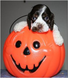 Facts About Your Dog - Facts About Dog Breeds, Dog Training, Dog Health and Dog Food Black Cocker Spaniel, Cocker Spaniel Puppies, English Cocker Spaniel, Cute Puppies, Cute Dogs, Dogs And Puppies, Doggies, Dog Halloween Costumes, Dog Costumes