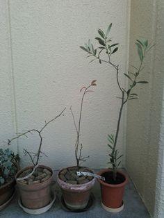 こんにちは。天候は、晴れ。ネキリムシの被害に遭ったオリーブとブルーベリーです。オリーブは、残った根の量に合わせてバッサリ剪定しました。今日もよろしくお願いします。 #gardening #园艺 #원예 #植え替え #オリーブ #olive #ブルーベリー #blueberry #ネキリムシ #ヨトウムシ #cutworm #害虫 #hi #你好 #안녕하세요 #Привет #สวัสดี #sunny #Thursday #睦月 #January