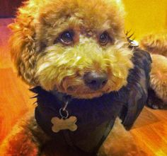 Jasper the Toy Poodle-The Look of Love!