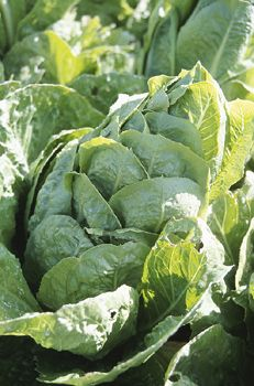 Secrets to Growing Lettuce in the Garden Growing Gardens, Small Gardens, Outdoor Gardens, Growing Lettuce, Healthy Fruits And Vegetables, Growing Vegetables, How To Harvest Lettuce, Garden Care