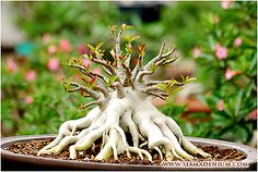 Symmetric Branches Adenium