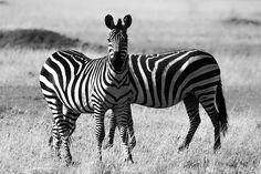 Фотография Siamese Twins автор Pradeep S на 500px