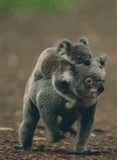 Huckepack-Koalas