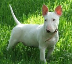 Bull Terrier Puppy... How can you not love this!