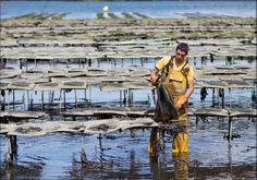 Ostréiculteur retournant les poches dans son parc à huitres. Une opération qu'il faut refaire régulièrement pour assurer aux coquillages une bonne croissance. Bretagne.