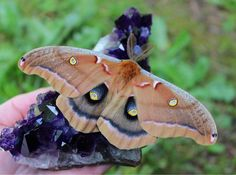 I was so blessed to have this beautiful moth check out one of my Uruguayan amethyst clusters. You can check out amethysts and a variety of natural and aura crystals in my Etsy shop. www.etsy.com/shop/Allthatshimmerzzz