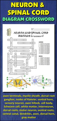 Help students learn and remember the parts of the neuron and spinal cord using this diagram crossword.  BONUS ACTIVITY:  When they've completed the crossword, get them to cut out the diagram, glue it on a separate page and label the parts of the diagram.  This activity would work wonderfully within an interactive notebook as well. It can function as an assessment of learning, or it can serve as another reinforcement activity. Afterwards, they have a handy labeled diagram to help them review.