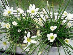 "Зефирантес - ""цветок западного ветра"""