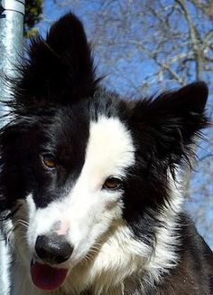 Meet Lady a Petfinder adoptable Border Collie Dog | Rockbridge Baths, VA | LadyFemaleBlack and white1 year oldActive Companion/Working Dog/Sports CompetitorLady is lightning...