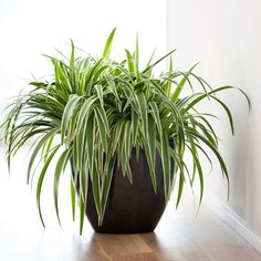 Indoor grass plants bamboo palm lady palm indoor plants home mart Indoor Shade Plants, Indoor Plant Pots, Bamboo Palm, Chlorophytum, Small White Flowers, Mother Plant, Low Maintenance Plants, Spider Plants, Bathroom Plants