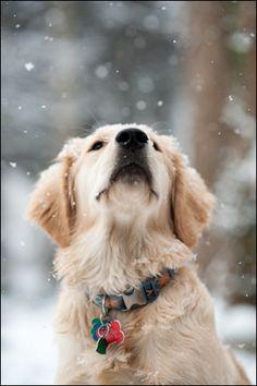 Snowy Golden~ love!