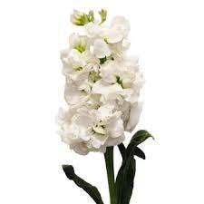 White stock for altar arrangement (or snapdragons0