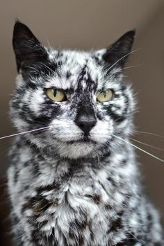 After a decade, this gorgeous cat has transformed his black coat into an extraordinary looking pattern. Meet Scrappy the cat.         Scrappy         At 19 years old, Scrappy has turned his beautiful dark coat into one with snowflake like markings. When  he was 7 years old, white spots appeared on h...