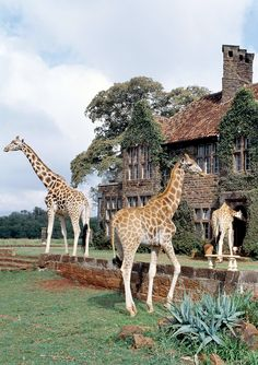 Giraffe Manor in Kenya is a luxury hotel where you can interact and live with Giraffes!