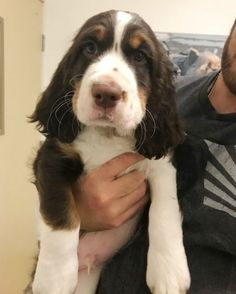English Springer Spaniel Puppies for Sale Springer Spaniel For Sale, Spaniel Puppies For Sale, Springer Spaniel Puppies, English Springer Spaniel, Spaniel Dog, Corgi Puppies, Field Spaniel, Spaniel Breeds, What Kind Of Dog