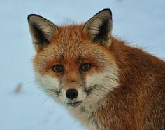Soft Fox