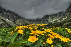 Ranunculus in Front of a Foggy Wall -- A colony of kingcups (Caltha palustris) in the High Tatra Mountains, Slovakia by Thomas Hintze Tatra Mountains, Native Plants, Houseplants, Garden Plants, Places To Travel, Wild Flowers, Planting Flowers, World, Green