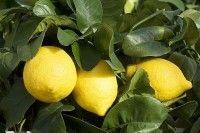 Fruits et verger - Planter un citronnier Fruit Vert, Royal Lodge, Comment Planter, Permaculture, Planters, Orange, New York, Multiplication, Massage