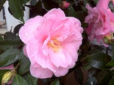 Beautiful Camelia at Shirley's yesterday. AP Garden Care