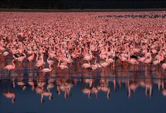 """""""Lake Nakuru National Park in Kenya protects the most famous of the string of lakes that line the Rift Valley west of Nairobi, mainly thanks to its concentrations of up to two million flamingoes, an avian spectacle to match the wildebeest migration of the Mara."""" East African Wildlife; www.bradtguides.com"""