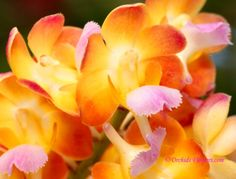 This bundle of orchids is full of fiery energy almost like a festival of colors moving swiftly through the petals darkening at the ends with a profound explosion of beauty.  Such happy flowers those must be.
