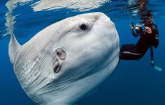Photojournalist Daniel Botelho snapped this stunning shot of a mola mola (ocean sunfish) more than two years ago, but it wasn't widely seen until this year. The ocean sunfish has an average adult weight of 1,000 kg (2,200 lb) —it's the largest bony fish in the world!