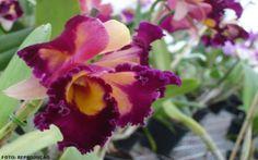 Orquídeas - defensivos caseiros #alcanceosucesso