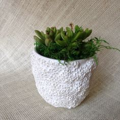 Coral SucculentCoastal Succulent