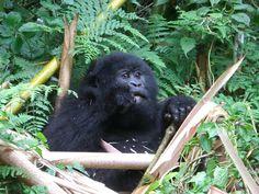 Baby Mountain Gorilla :-) Mountain Gorilla, Africa, Baby, Animals, Animales, Animaux, Animal, Baby Humor, Animais