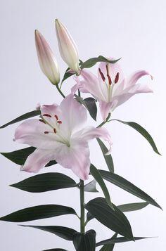Meer lelies op www.mooiwatbloemendoen.nl Beautiful Rose Flowers, Amazing Flowers, White Flowers, Virtual Flowers, Asiatic Lilies, Day Lilies, Trees To Plant, Flower Arrangements, Bloom