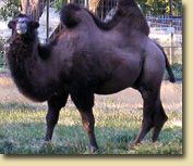 Bactrian camel - check this guy out!