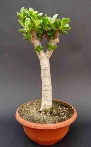 Obrazek Jade Plant Bonsai, Jade Plants, Bonsai Plants, Crassula Ovata, House Plants, Gardening, Vases, Garden, Bottle Caps