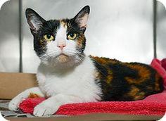 Callie the Calico Cat.