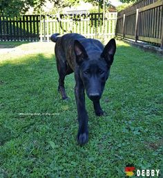 DEBBY FROM GERMANY Dutch Shepherd Dog, Adorable Animals, Germany, Dogs, Doggies, Deutsch, German Resources, Dog, Cutest Animals